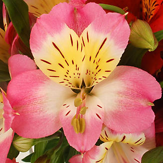 Alstroemeria Bouquet With Free Express Delivery alt image 2
