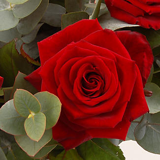 Dozen Red Roses with free express delivery alt image 2